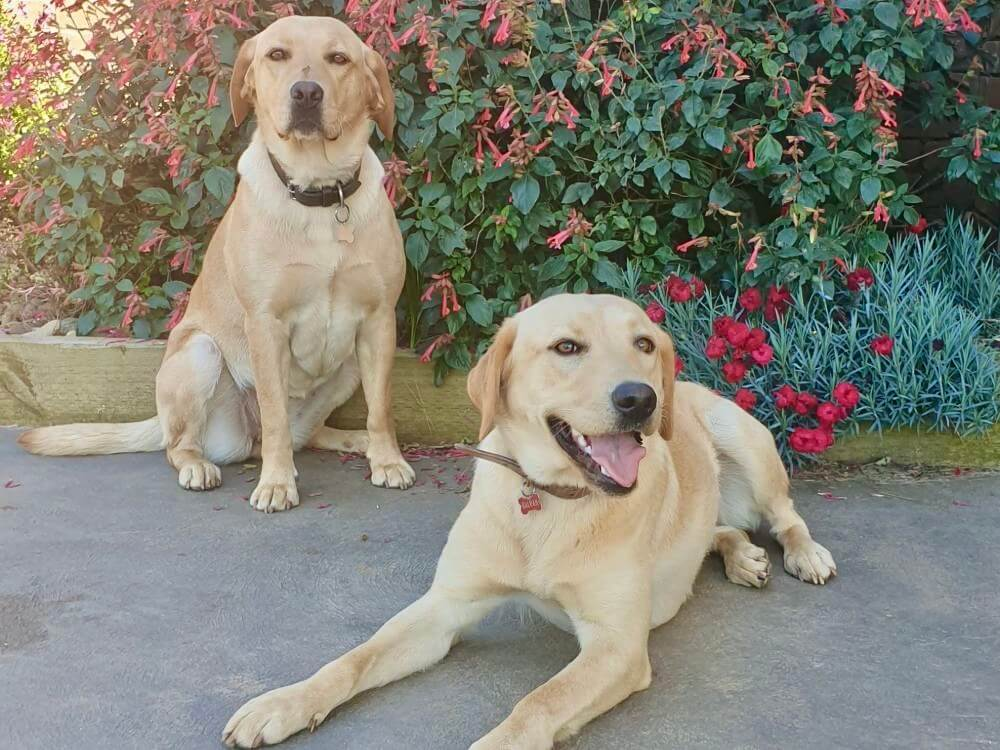 animal assisted therapy dogs